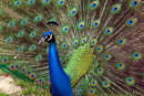 Passion to protect peacocks spurs petition