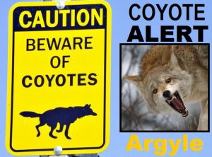 The Town of Argyle is urging residents to be ware of possible coyotes roaming the area for food.
