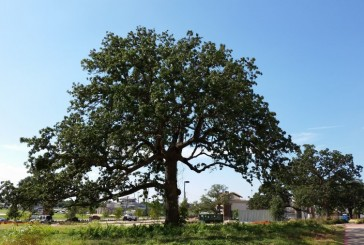 Hayden, Webb weigh in on proposed tree ordinance change