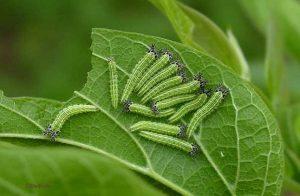 Hackberry caterpillar