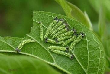 Caterpillar destroying area hackberry trees