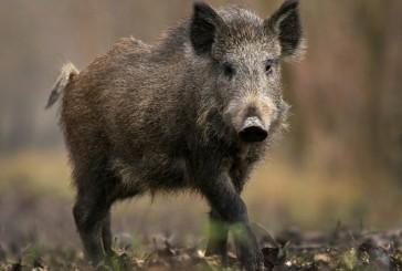 Feral hog workshop offered