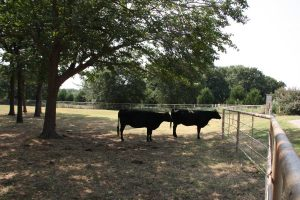 It will soon be time for these bovines to mooove as million dollar homes will sprout up in their place.