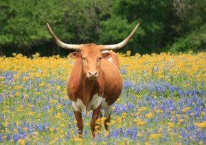 longhorn flowers