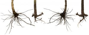 Bare-Roots