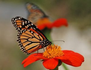 A monarch butterfly on a tithonia blossom. (Photo: Melinda Myers, LLC.)