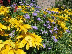Rudbeckia 'Prairie Sun' and Ageratum 'Blue Horizon' make a nice combination, adding plenty of color to the garden. (Photo by Melinda Myers, LLC)