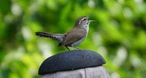 wren bird nature