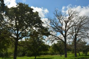 All over Texas this summer, people are asking why their post oaks are dying. Texas A&M AgriLife officials say a combination of stress from the 2011 Texas drought and overly wet conditions in 2016 are the reason. (Texas A&M AgriLife photo by Kathleen Phillips)