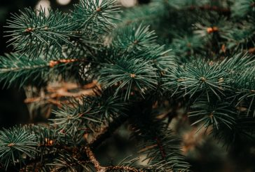 Oh, Christmas Tree! Tips for growing your own