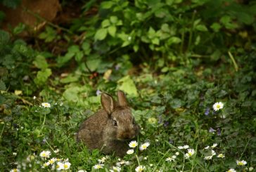 Flower Mound offers tips for residents who find baby rabbits