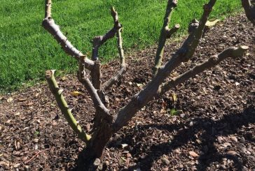 Pruning your roses in the North Texas garden