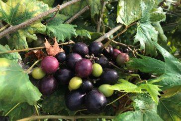 Backyard Grape Growing: A Sweet Reward