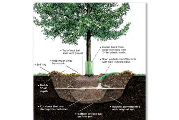 How to plant your tree properly