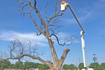 Flower Mound pecan tree removed, wood to be distributed