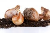 Gardening: Think spring bulbs now