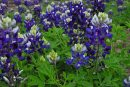Gardening: Succeed with Texas Superstars